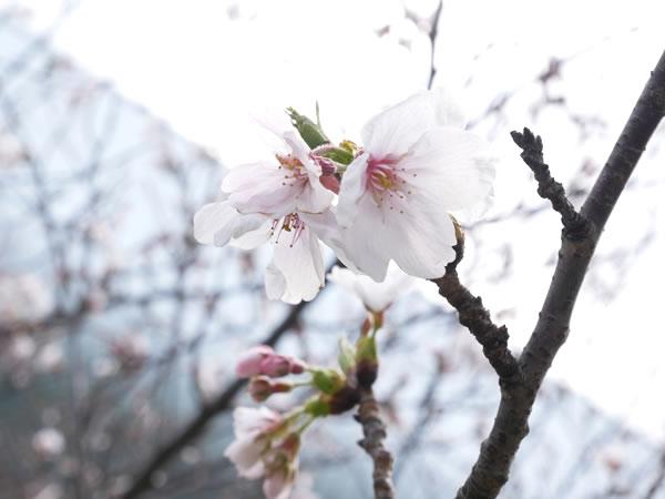 福岡空港の桜